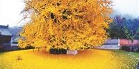 """西安一棵千年古银杏树成""""网红"""" 参观需预约 - 西安网"""