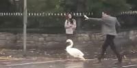 爱尔兰一天鹅误闯繁忙马路 电视明星下车将其抱离 - 西安网