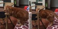 肥猫试图钻过椅子扶手被卡 挣扎半天终脱身 - 西安网